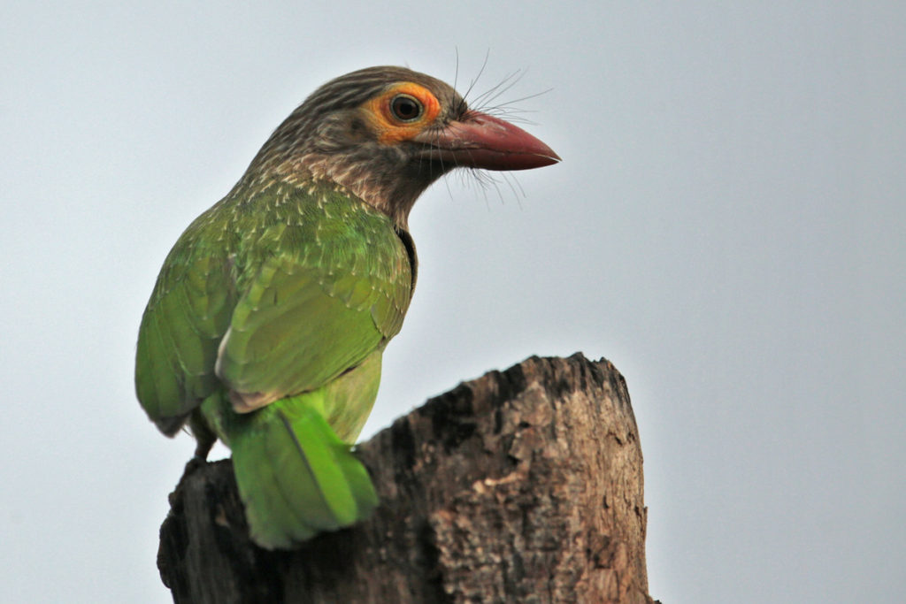 Brown-headed Barbet © Aaron Maizlish
