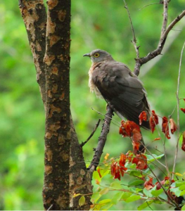 Common Hawk-cuckoo © Albin Jacob; from this checklist that also features the 4 other Cuckoo species.
