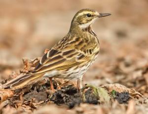 Rosy Pipit. Note the longer tail, slim beak, slender structure, upright looking stance © Pranjal J Saikia