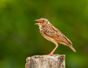 Jerdon's Bushlark. Note the heavy built, thick bill, short tail © Vinoba Anand (see in checklist)