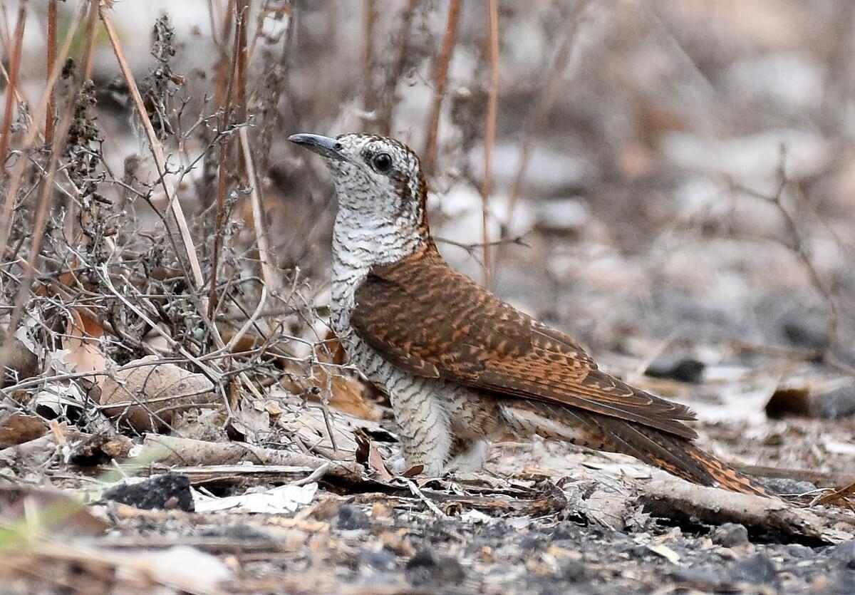 Banded Bay Cuckoo, from this list by Sumit Chakrabarti at Jabalpur, Madhya Pradesh