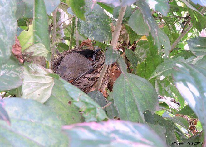 Nesting Red-whiskered Bulbul