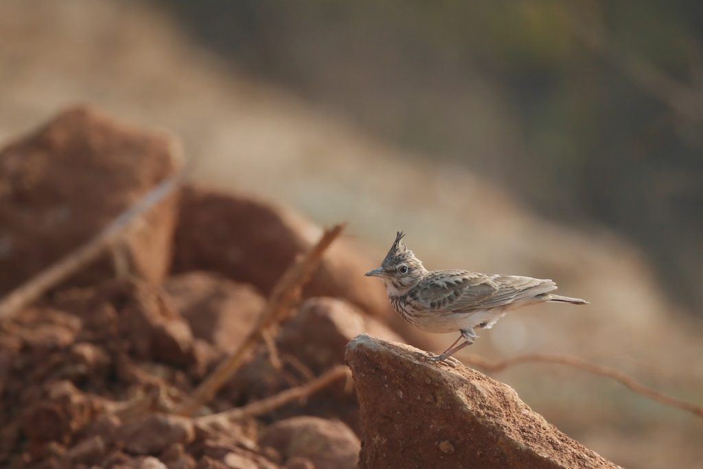 Crested Lark © Ting-Wei Hung