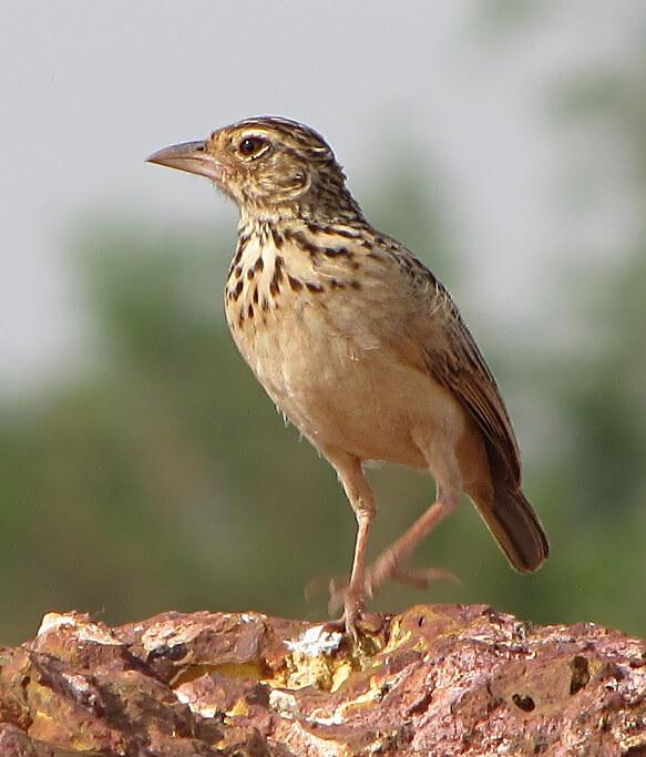Jerdon's Bushlark © Ramit Singal
