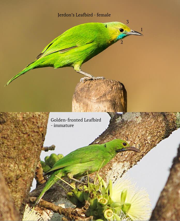 leafbird_golden-fronted_jerdon's_comparison_2