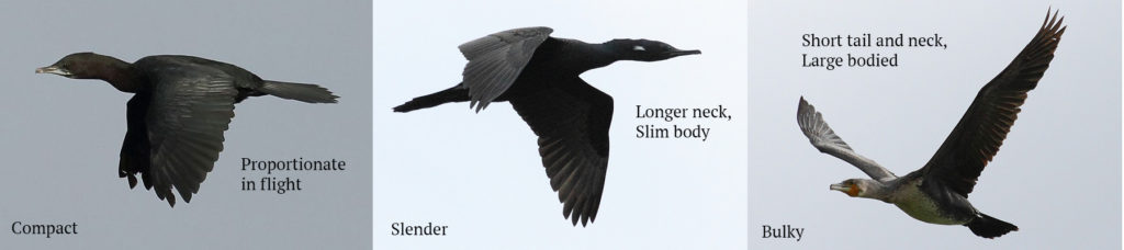 (From L to R) Little Cormorant © Albin Jacob, Indian Cormorant © Albin Jacob, Great Cormorant © Albin Jacob