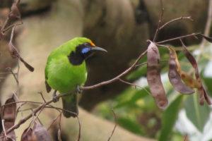 Golden-fronted Leafbird © Albin Jacob