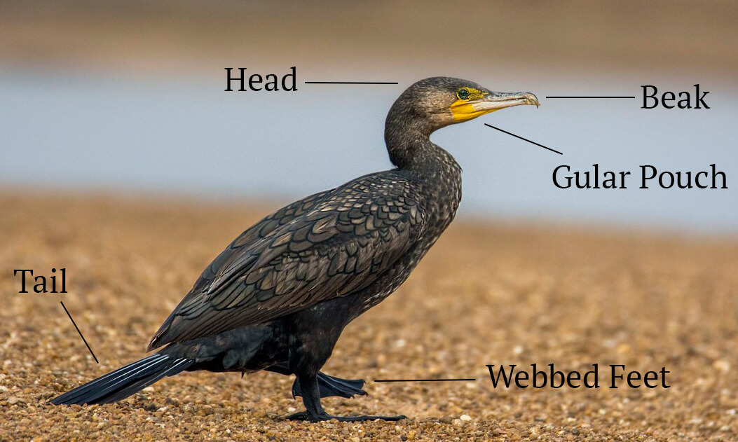 indian cormorant | Bird Count India