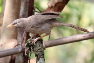 Jungle Babbler © Bharat Kaneria