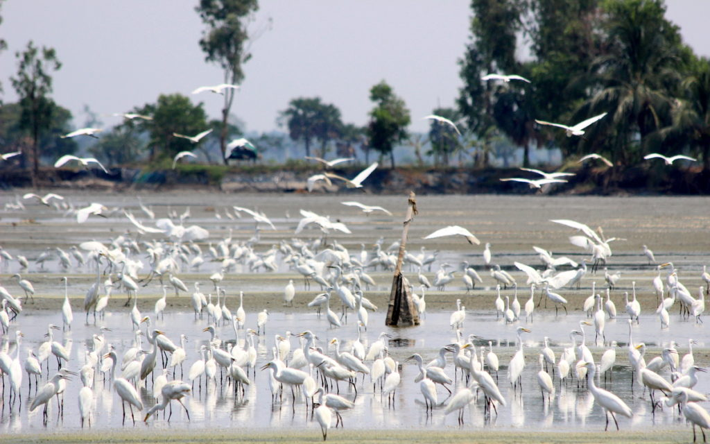 A large flock of egrets © Sourav Maiti (view in checklist)