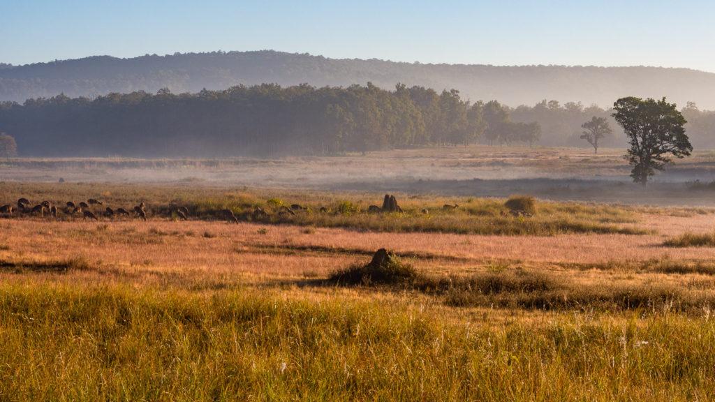 Swamp Deer, Kanha